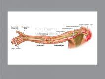 Arm bones arteries