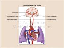 Circulation heart to brain