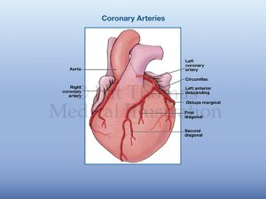 Coronary arteries 01