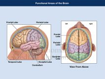 Functional areas brain