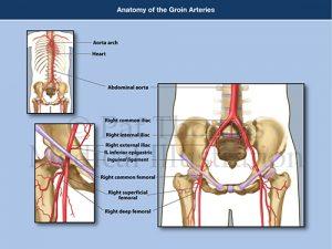 Groin arteries