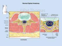 Lumbar axial section