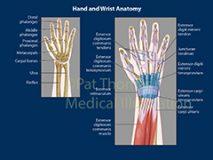 Wrist tendons bones