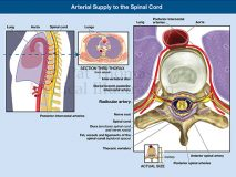 arteries to spinal cord
