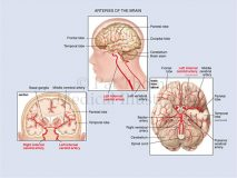 blood supply brain