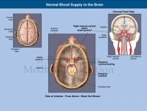 blood supply brain base