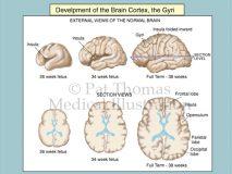 fetal brain gyri cortex