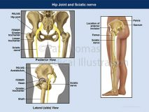 hip sciatic nerve
