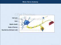 motor nerve neurilemma