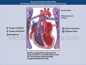 Prenatal circulation 01