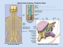 spinal nerves canal