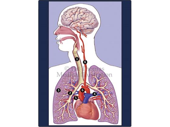 Thorax, mediastinum, respiratory, lungs
