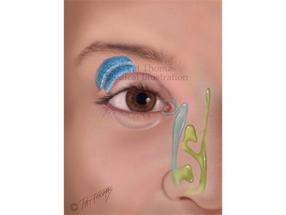Lacrimal tear gland of the eye