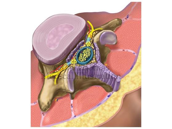 Lumbar vertebra and spinal cord