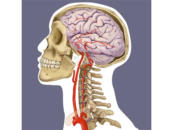 Neurovascular anatomy