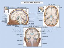 Brain section views