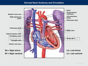 Heart circulation 02