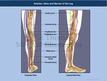 Leg artery veins