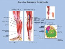 Leg compartments