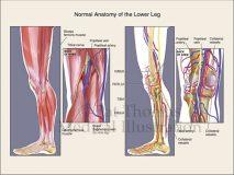 Leg muscle vessels