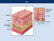 Skin layers anatomy