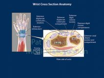 Wrist tendons section
