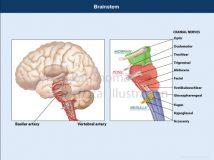 brainstem cranial nerves