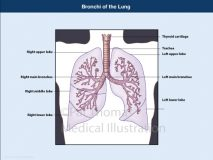 bronchi lung