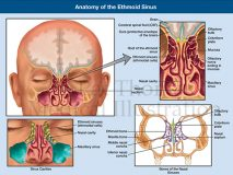 ethmoid sinus anatomy
