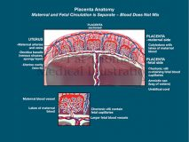 Placenta anatomy